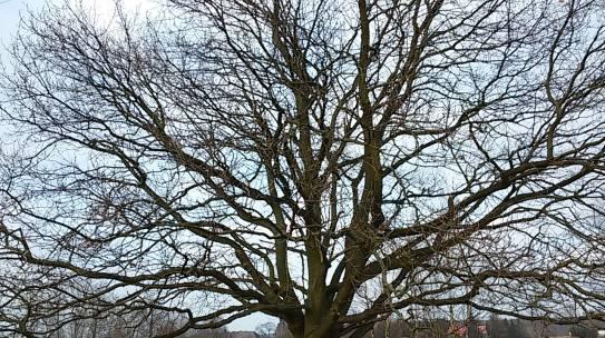 Zagłosuj na przyrodę i wybierz Drzewo Roku 2020