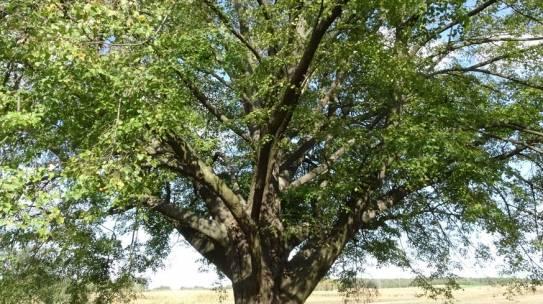 Lipa św. Jana Nepomucena Drzewem Roku 2020!