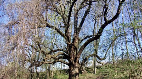 Drzewo Roku na finiszu