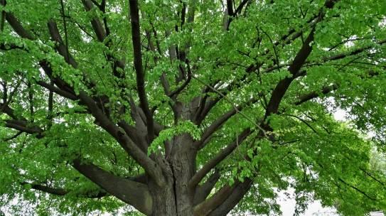 Ostatni moment by zagłosować na polskie drzewo!