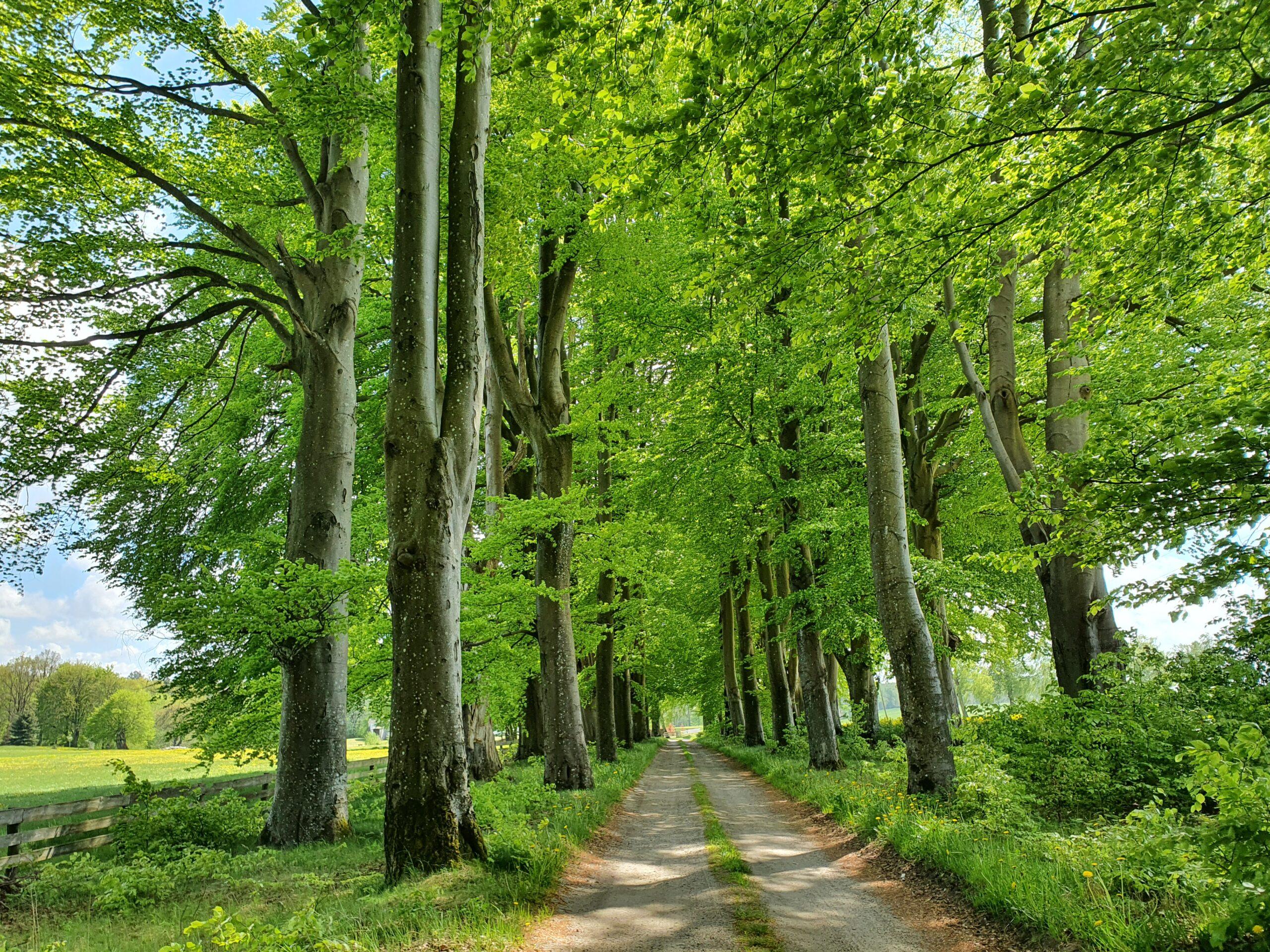Ekspertyza  dendrologiczna dla zabytkowej alei drzew – ZAPYTANIE OFERTOWE